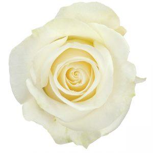 Rose White Dominica