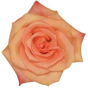 Rose Peach Donna
