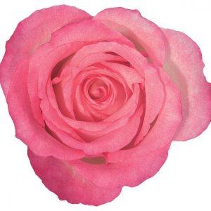 Rose Hot Pink Duett