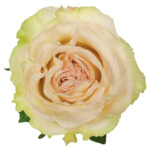 Rose Green Dynamic
