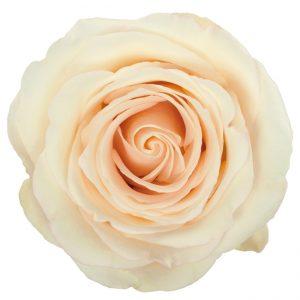Rose Cream Emily