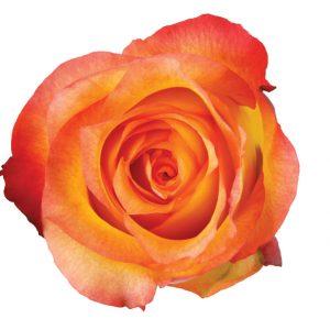 Rose Bi-Color Orange Encanto