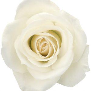 Rose White Eskimo