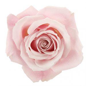 Rose Light Pink Sweet Eskimo