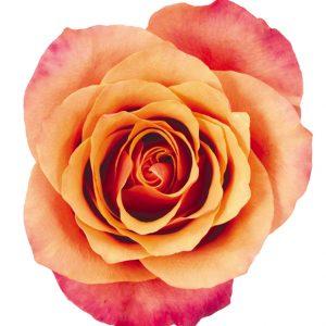 Rose Bi-Color Orange Espana