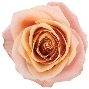 Rose Peach Fado