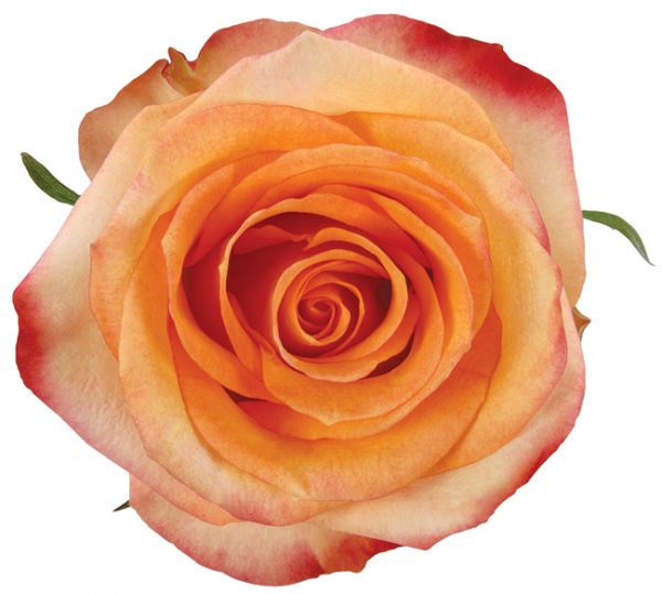 Rose Orange Fijgi