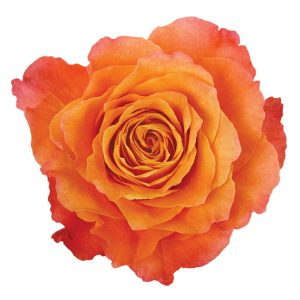 Rose Orange Free Spirit