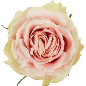Rose Pink Frutteto