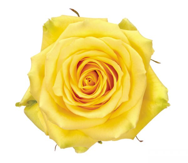 Rose Yellow Gelosia