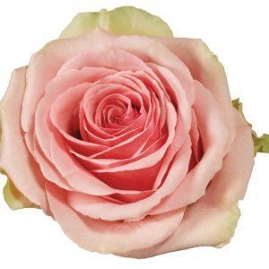 Rose Pink Geraldine