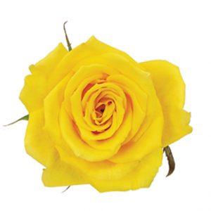 Rose Yellow Golda