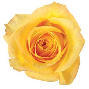 Rose Yellow Gold Rush