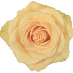 Rose Yellow Gran Dorado