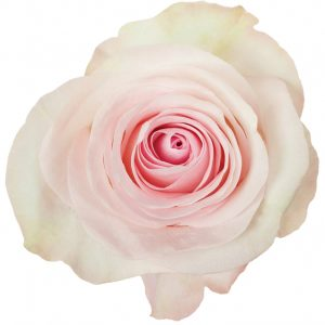 Rose Light Pink Grateful