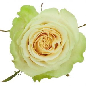 Rose Green Green Beauty
