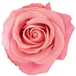 Rose Pink Hermosa