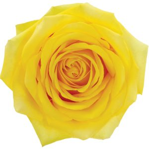 Rose Yellow High And Exotic
