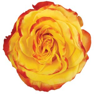 Rose Bi-Color Yellow High And Yellow Flame