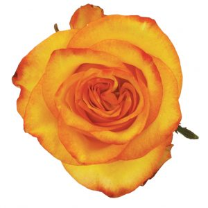 Rose Bi-Color Yellow High And Magic