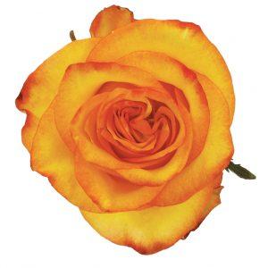 Rose Bi-Color Yellow High And Magic
