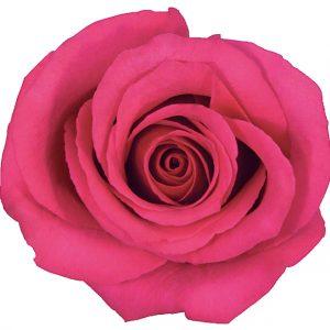 Rose Hot Pink Hot Princess