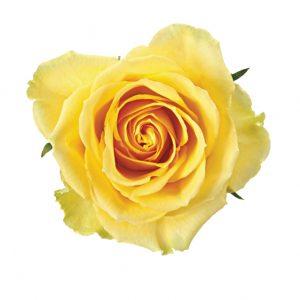 Rose Yellow Idol