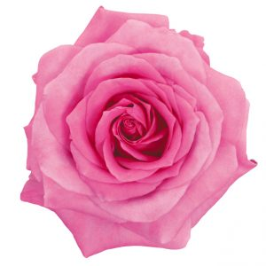 Rose Hot Pink Impression