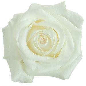 Rose White Inocencia