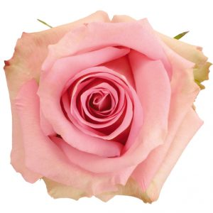 Rose Pink Jessika