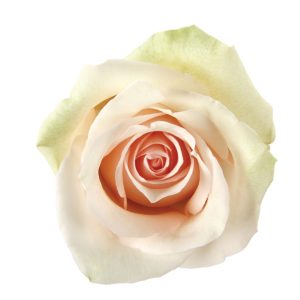 Rose Green La Perla