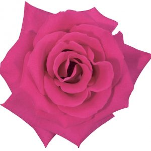 Rose Hot Pink Latin Breeze