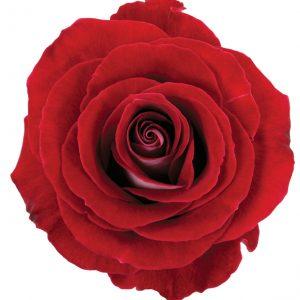 Rose Red Latin Lady