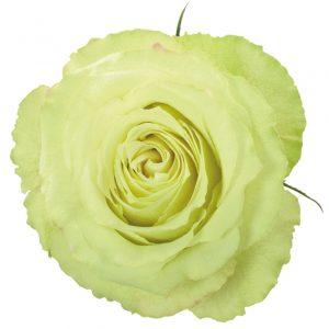 Rose Green Lemonade