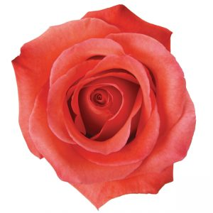 Rose Orange Manitou