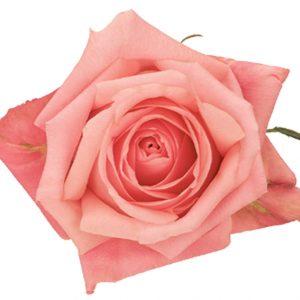 Rose Pink Marlyse