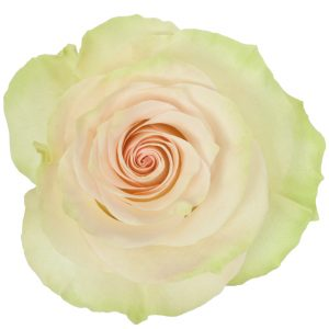 Rose Green Marzipan