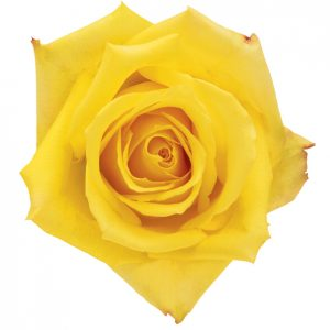 Rose Yellow Mohana