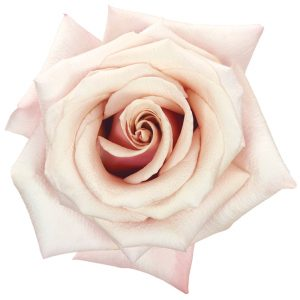 Rose Light Pink Mother Of Pearl