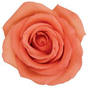 Rose Peach Movie Star