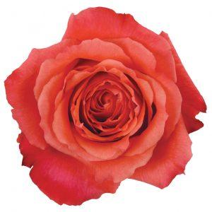 Rose Peach Nature's Cherry