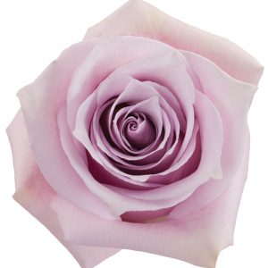 Rose Pink Nautica