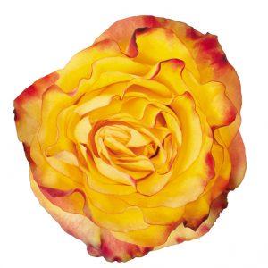 Rose Bi-Color Yellow News Flash