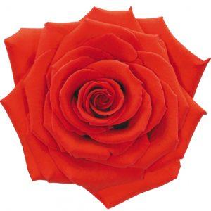 Rose Orange Nina