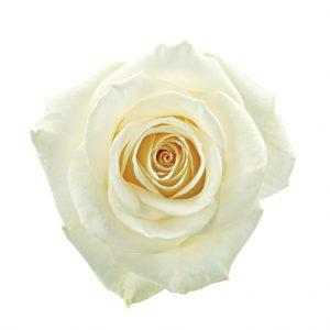 Rose Cream Novia