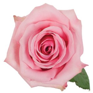 Rose Pink Pink Candy