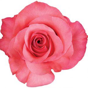 Rose Hot Pink Pink Love