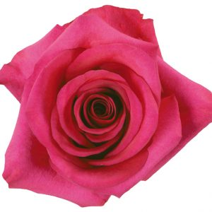 Rose Hot Pink Pizzazz
