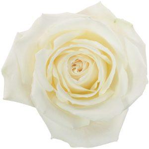 Rose White Playa Blanca