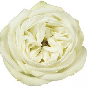 Rose White Polo